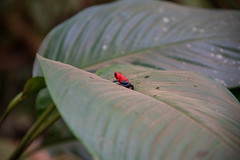 DSC_5709 (stacyjohnmack) Tags: bluejeansfrog costarica frog