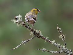 Siskin (burnsmeisterj) Tags: olympus omd em1 siskin bird wildlife