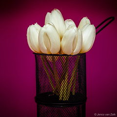 tulips in a basket (© Jenco van Zalk) Tags: a1 silk tulpen profoto basket purple paars wit tulp tulips tulipa tulip