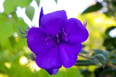 Vacances_0835 (Joanbrebo) Tags: mainau konstanz badenwürttemberg de deutschland canoneos80d eosd autofocus efs1855mmf3556isstm flors flores flowers fiori fleur blumen blossom