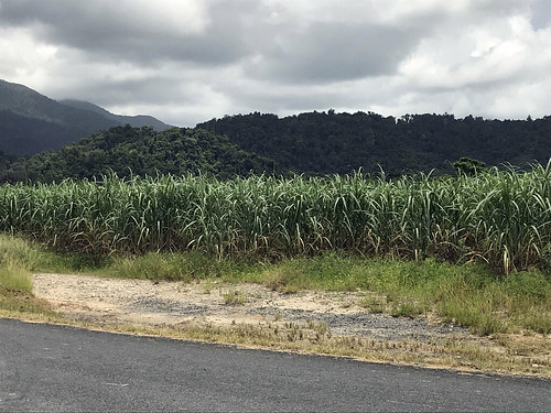 IMG_4704 Sugar Cane