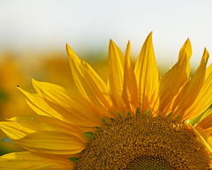 May the sun always shine bright in your life - Happy Birthday! (W_von_S) Tags: sunflower sonnenblume happybirthday yellow light flower macro wvons werner sony sonyilce7rm2
