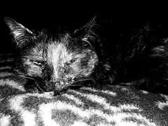 Ella (Josu Sein) Tags: portrait retrato cat gato love amor lovely adorable animalism animalismo veganism veganismo antispeciesism antiespecismo animalrights derechosanimales josusein littledoglaughednoiret
