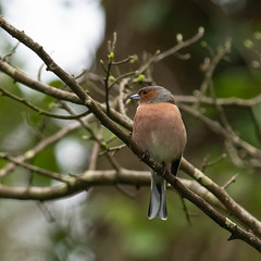 DSC_7593.jpg (dan.bailey1000) Tags: bird chaffinch wildlife donerailepark ireland cork