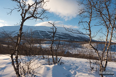 Through the Birch Trees (kevin-palmer) Tags: abisko sweden swedishlapland europe arctic nikond750 tamron2470mmf28 snow snowy birchtrees clouds march winter blue sky afternoon scandinavianmountains footprints