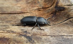 Lesser Stag Beetle (StevePaisley) Tags: lesser stag beetle insect