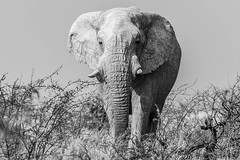 Bull Elephant, Etosha, Namibia. (sfrancis23) Tags: bull elephant etosha namibia africa 400mm28fl nikon d850 wild wildlife nature animal ngc
