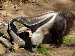 barcelona_3_789 (OurTravelPics.com) Tags: barcelona giant anteater zoo