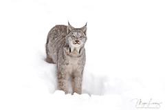 The Visitor (Megan Lorenz) Tags: canadalynx canadianlynx lynx cat feline wildcat animal mammal snow winter nature wildlife wild wildanimals northernontario ontario canada mlorenz meganlorenz