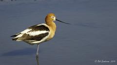 American Avocet (Bob Gunderson) Tags: americanavocet birds california northerncalifornia pier94saltmarsh recurvirostraamericana sanfrancisco shorebirds
