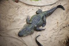 Alligator (Pascal Volk) Tags: berlin friedrichsfelde berlinlichtenberg tierparkberlin hauptstadtzoo zoo tiereingefangenschaft alligator aligátor canoneosr kmzhelios442258 ге́лиос m42 58mm altglas dxophotolab