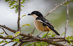 Southern Boubou-9365 (Theo Locher) Tags: birds laniariusferrugineus oiseaux southernboubou suidelikewaterfiskaal vogels vögel southafrica zuidafrika krugernationalpark kruger copyrighttheolocher