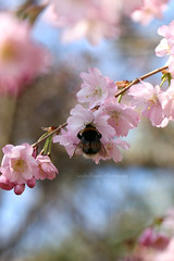 The hum of bees is the voice of the garden. (Sandra Köppen | P H O T O G R A P H Y) Tags: bright beauty beautiful bloom blossom bee cute closeup colourful detail dreamy dream delicate earthy fragile fairytale feathery light macro march nature natural outdoor outside pastel pink still season spring sun serene sparkle tiny 2019