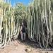 Gran Canaria euphorbia