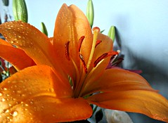 Inside Beauty (Lynn English) Tags: daylily orange droplets bouquet