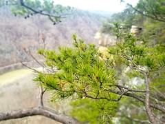 A little color... (kegrose) Tags: pine spruce needles tree green gorge canyon newrivergorge westvirginia almostheaven takemehome nature naturalbeauty landscape scenery hiking hike outdoors