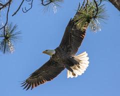 American Bald Eagle Inflight MTC (dbadair) Tags: outdoor nature wildlife 7dm2 canon florida bird