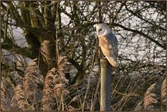 Barn Owl (Full Moon Images) Tags: wildlife nature wicken fen burwell nt national trust reserve cambridgeshire bird birdofprey barn owl