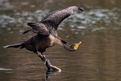 Cormorants (Juvenile) (Robert Jackson Photography) Tags: robertjacksonphotography robertjackson nikkor200500mmf56 photography wildlife winter bird nikon