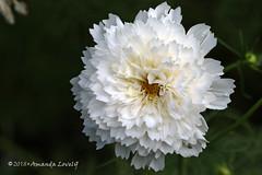 White Flower Sept 18 (maerlyn8) Tags: flower floral flora white petals soft september 2018 macro 100mm canon nature center garden glow