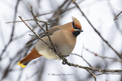 Cedar Waxwing (Canon Queen Rocks (2,715,000 + views)) Tags: cedarwaxwing colours birds beak branches bird reds yellows perched wildlife wings wild feathers nature trees