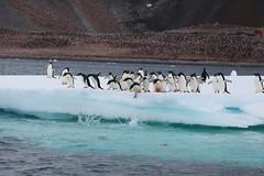 IMG_3563 (y.awanohara) Tags: adelie adeliepenguins penguins antarctica antarcticpeninsula wildlife january2019 icebergs ice icefloes