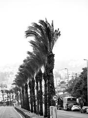 Palm Trees & Wind in Pat Junction-1 (zeevveez) Tags: זאבברקן zeevveez zeevbarkan canon bw palm wind