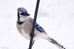 Blue Jay (Anne Ahearne) Tags: wild bird animal nature wildlife bluejay winter snow closeup portrait songbird birdwatching posing