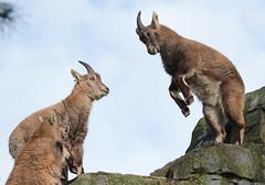 alpine ibex Artis 094A0701 (j.a.kok) Tags: animal artis alpensteenbok alpineibex europe europa steenbok ibex mammal zoogdier dier
