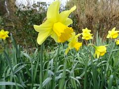 Daffodil (Narcissus) (guyfogwill) Tags: 2018 daffodil devon europe febuary flora flower flowers fogwill gb gbr guy guyfogwill leechwellgarden narcissus southhams southwest spring totnes tq9 uk unitedkingdom westcountry winter