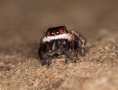 Angkor Salticidae (Phil Arachno) Tags: cambodia salticidae kambodscha siem reap arachnida spider spinne chelicerata