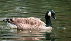 Friendship Pond Canada Goose 4 NBG (Puddin Tain) Tags: brantacanadensis canadagoose pond bird animal norfolkbotanicalgarden norfolkvirginia