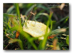 Dew drops and bokeh. (natureflower photography) Tags: dew drops leaf bokeh garden green morning soft ligjt nature scene