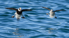 Long-tailed ducks (JS_71) Tags: nature wildlife nikon photography outdoor 500mm bird new winter see natur pose moment outside animal flickr colour poland sunshine beak feather nikkor d500 wildbirds planet global national wing eye watcher
