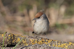 Capinera (f) (Marcello Giardinazzo) Tags: capinera avifauna natura birds bird uccelli wild
