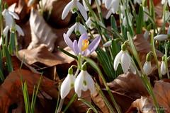 Mitten drin .... ist der Frühling (Sockenhummel) Tags: glienicke krokus schneeglöckchen snowdrops crocus spring flowers forest wald park blumen frühling fuji x30