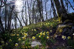 Soleil et fleurs de printemps (jpto_55) Tags: fleur jonquille sauvage xt20 fuji fujifilm maildehard hautegaronne soleil printemps voigtlander15mmf45superwideheliarii voigtlanderlens