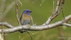 Western Bluebird (m) (Bob Gunderson) Tags: birds blackdiamondminesrp bluebirds california contracostacounty eastbay northerncalifornia sialiamexicana thrushes westernbluebird