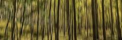 Blurred Aspen Trees (mnryno) Tags: colorado aspentrees fall autumn trees