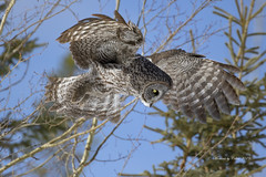 The Hunter (Canon Queen Rocks (2,800,000 + views)) Tags: alberta birds beak owls owl bird birdofprey birdsofprey greatgreyowl wildlife wings wild nature naturephotography momentsbycelinecom trees eyes yelloweye bluesky raptor