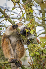 Female Black Lemar (chrisellis211) Tags: lemur peakdistrict animal animalkingdom animals canon 80d canon80d telephoto portrait endangered peaks adventures blacklemur