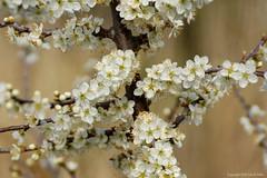 Springtime (DirkVandeVelde ( very busy)) Tags: europa europ europe belgie belgium belgica belgique buiten flora zeebrugge blankenberge westvlaanderen sony spring primavera printemps lente