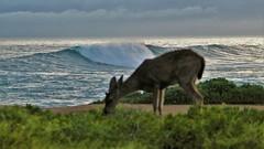April2Image9690 (Michael T. Morales) Tags: deer ptpinos pacificgrove montereybay nature muledeer