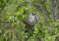 "Two Spring offerings ...  ""a bird in the hand ..."" White-crowned Sparrow, content in his bush. (barbara robeson) Tags: barbararobeson whitecrownedsparrow arrowheadmarsh"