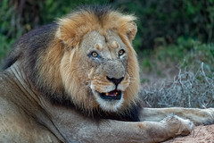 Lion Portrait (fascinationwildlife) Tags: animal mammal africa afrika african lion male maned black löwe summer südafrika south eastern cape nature natur national park addo elephant portrait road morning dusk predator big cat feline
