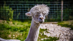I looked in the mirror, this morning, and thought:- Oh Dear; it is time for me to visit the Hairdresser! (Brian @ Bury St Edmunds (UK)) Tags: canon eos7d photoshopcc2019 eizocoloredgecx271 ef70300mmf456lisusm animal mammal llama wildlife datingagency beautiful pretty