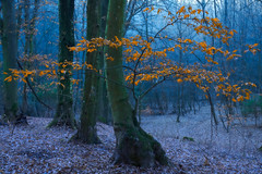 (Nikola Ostrun) Tags: forest cold morning blue colorcontrast contrast tree leaves leaf autumn autumncolors orange yellow wood woodland woods
