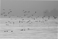 Birds (Giangaleazzo) Tags: birds uccelli flight volo lake lago orta piemonte italy nikon coolpix water seagul monochrome bianco e nero biancoenero blackwhite bw bird minimal minimalism