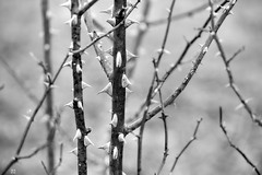 the thorns of truth (Aspenlaub (blattboldt)) Tags: nature zeiss sony ilce7rm3 alpha7riii manualfocus manualiris manualexposure specialthankstochristophecasenaveandhisteamfromzeissfortheirpersonalinvolvementinthedevelopmentoftheloxialensline ⚶ emount loxia2485 loxia2485sonnar 85mm 51695547 sonnar physiognomic laudātū 苦 ku wabisabi 侘寂 thorns blackandwhite monochrome noiretblanc legitō contrast sharp soft europe germany carlzeiss prickles hurt