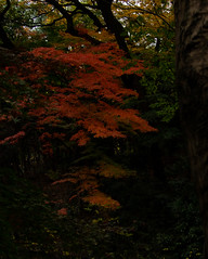 Red Accent in the Dark (Eshke04) Tags: red deep accent forest shadow light foliage leaves contrast garden nature season late autumn meiji shrine tokyo japan composition frame silence tranquility moment angle tree